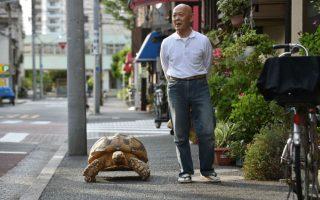 Βόλτα με το κατοικίδιο. Ούτε οι σκύλοι, ούτε οι γάτες ήταν οι αγαπημένοι του. Ούτε καν τα ψαράκια και τα πουλιά. Ο Hisao Mitani διάλεξε για συντροφιά του μια αφρικανική χελώνα. Ο Bon -chan, όπως ονομάζεται, ζυγίζει πια, 70 κιλά και όταν βγαίνει βόλτα με το αφεντικό του στην πόλη Tsukishima όπου ζουν, αποτελεί -και δικαίως- το κέντρο της προσοχής. Μικροί και μεγάλοι τον αγγίζουν και τον ταίζουν τα αγαπημένα του εδέσματα. Λάχανο και καρότα.  AFP PHOTO / KAZUHIRO NOGI