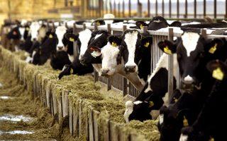 Εκτός από τις δυσχέρειες πραγματοποίησης των εισαγωγών, υπό απειλή πλέον βρίσκεται και η εγχώρια παραγωγή κρέατος, καθώς, σύμφωνα τουλάχιστον με όσα καταγγέλλουν οι βιομηχανίες ζωοτροφών, αυτές επαρκούν έως την Κυριακή.