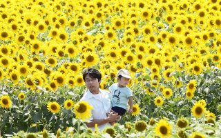 A father and son walk through a field of sunflowers in full bloom in Zama, Kanagawa prefecture on July 27, 2013.  Zama city has two sunflower festival weeks annually, with the first week from July 25-30 and the second from August 21-26.   AFP PHOTO/Toru YAMANAKA