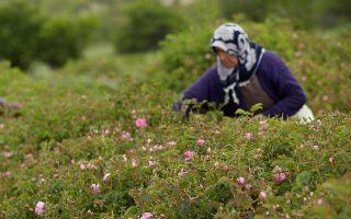 Σύροι πρόσφυγες εργάζονται ευκαιριακά, κατά τη διάρκεια της συγκομιδής του ομορφότερου λουλουδιού.
