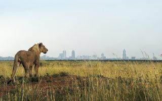 Ενα νεαρό λιοντάρι από το Εθνικό Πάρκο του Ναϊρόμπι κοιτάζει τον ορίζοντα. Ο θάνατος του Σέσιλ έφερε στο προσκήνιο τη σιωπηλή εξόντωση των μεγάλων αιλουροειδών.