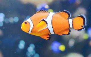 Το ψάρι-κλόουν, παρά το μικρό του μέγεθος και τη συμπαθητική όψη που διαθέτει, είναι ικανό να ταξιδέψει εκατοντάδες ναυτικά μίλια μακριά, προκειμένου να γεννήσει τα αβγά του.