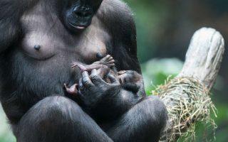 Ανθρώπινες στιγμές. Αν και γεννήθηκε μόλις χθες, οι υπεύθυνοι του ζωολογικού κήπου του Brookfield στο Ιλινόις, βάπτισαν κιόλας το μικρό αγοράκι Zachary. Ο μικρός αποτελεί την τέταρτη γενιά γοριλών που γεννιούνται στον συγκεκριμένο ζωολογικό κήπο. Γεγονός σημαντικό, μιας και το είδος τους έχει μειωθεί επικίνδυνα  από την αποψίλωση των δασών, το κυνήγι από τους επαγγελματίες του είδους, αλλά και από αρρώστιες όπως ο Ebola. Όσο για την τρυφερότητα με την οποία  τον κρατά η μητέρα του Kamba κοντά στο νεανικό της στήθος, θυμίζει τόσο πολύ το ανθρώπινο είδος που μόνο συγκίνηση μπορεί να προκαλεί. Scott Olson/Getty Images/AFP