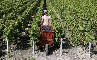 Σταφύλια Pinot Noir, για την παραγωγή της διάσημης σαμπάνιας Roederer στη Ρεμς.