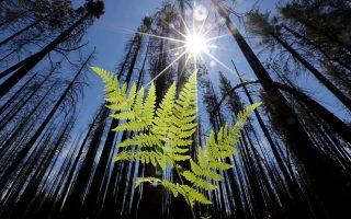 Τα δάσος ξαναζεί στο Γκρόουβλαντ της Καλιφόρνιας, μετά τις καταστροφικές πυρκαγιές του 2013 στη Σιέρα Νεβάδα.