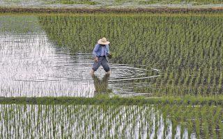 Η νέα μέθοδος που υπόσχεται οικονομία νερού, δημιουργεί την προοπτική καλλιέργειας ρυζιού ακόμη και σε ερημικές ζώνες.