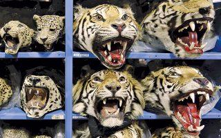 Κεφάλια λεοπαρδάλεων και τσάντες από κροκόδειλο βρίσκονται στο κέντρο όπου συγκεντρώνεται ό,τι αφορά την παράνομη διακίνηση αγρίων ειδών.