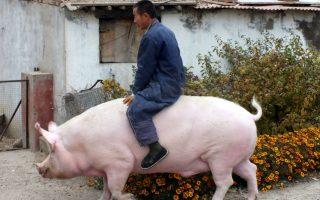 O Λατρεμένος. Μια ιδιαίτερη σχέση αναπτύχθηκε μεταξύ του εκτροφέα Zhang Xianping από την επαρχία Hebei της Κίνας  και του εικονιζόμενου ζώου. Αντί να το στείλει για σφαγή, αποφάσισε να το κρατήσει για κατοικίδιο, έστω και αν ζυγίζει πια 600 κιλά. Ο «Big Precious» είναι πια δυο ετών και ακολουθεί το αγαπημένο του  αφεντικό, παντού.  REUTERS/Stringer