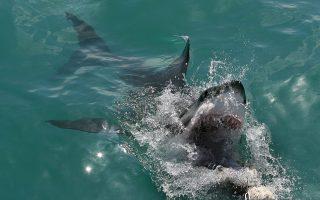 Ο Μεγάλος Λευκός Καρχαρίας συνηθίζει να αναδύεται για να διεκδικήσει τη λεία του. Από το σκάφος είχαμε συχνά ένα τέτοιο εντυπωσιακό θέαμα.