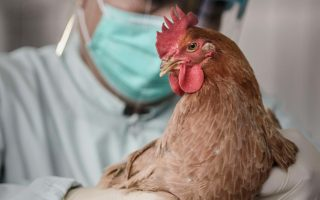 Σε πουλερικά εντοπίστηκαν βακτήρια με το γονίδιο ανθεκτικότητας σε αντιβιοτικά.
