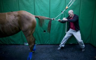 Τρέχοντας μακριά. Την δύναμή τους χρησιμοποιούν τα άλογα όταν αντιλαμβάνονται τον κίνδυνο. Και αυτή είναι η ικανότητά τους, να καλπάζουν. Δύναμη που αποτελεί σοβαρότατο πρόβλημα όταν αυτά νοσηλεύονται, όπως εξηγεί και ο εικονιζόμενος Dr Gal Kelmer επικεφαλής του τμήματος μεγάλων ζώων της Κτηνιατρικής Σχολής του Πανεπιστημίου του Koret στο Ισραήλ, ενώ προσπαθεί να λύσει την ουρά ενός ασθενή του. Τα άλογα μετά από   θεραπεία τους, «από την στιγμή που θα ξυπνήσουν θα προσπαθήσουν να σταθούν και να τρέξουν, ακόμη και όταν δεν έχουν τον έλεγχο των άκρων τους . Έτσι θα καταρρεύσουν», λέει ο καθηγητής που δικαιολογεί τον τρόπο που δένονται και ακινητοποιούνται αμέσως μετά. (AP Photo/Oded Balilty)