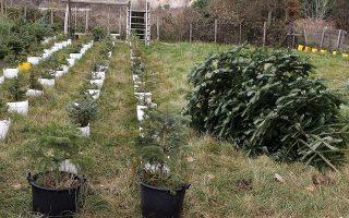 Τεράστιες αγροτικές εκτάσεις έχουν μετατραπεί σε φυτώρια ελάτων στο χωριό Ταξιάρχης στη Χαλκιδική, Πέμπτη 7 Δεκεμβρίου 2006. Ο Ταξιάρχης που βρίσκεται στον ορεινό όγκο του Χολομώντα της Χαλκιδικής έχει μια ιδιαίτερη σχέση με τα Χριστούγεννα αφού εκεί υπάρχουν μερικά από τα μεγαλύτερα φυτώρια ελάτων στην Ελλάδα. Κάθε Χριστούγεννα τα έλατα 12-15 ετών κόβονται και έρχονται στην Αθήνα ή στη Θεσσαλονίκη για να πουληθούν.
