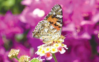 Πεταλούδα σε κήπο της Σαρωνίδας, στον παράδεισο της Aττικής (φωτο Eλένη-Eλισάβετ Mπίστικα).