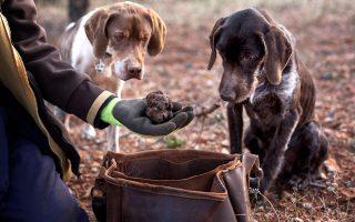 Συχνά, η εκλεκτή και ιδιαίτερα ακριβή μαύρη τρούφα συγκεντρώνεται με τη βοήθεια ειδικά εκπαιδευμένων σκύλων.