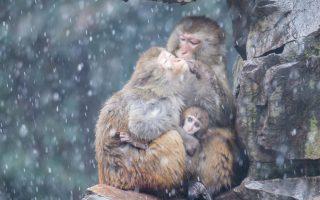 Ισχύς εν τη ενώσει. Ισχύει σε όλες τις οικογένειες, γιατί όχι και για τις  μαϊμούδες του ζωολογικού κήπου στο Hengzhou της Κίνας. Σε μια αγκαλιά όλοι μαζί, κρατούν τον μικρό ζεστό, κάνουν και το απαραίτητο καθάρισμα της γούνας τους. EPA/XU KANGPING