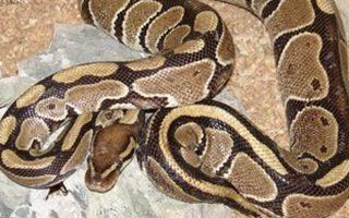 epithesi-pythona-se-toyristria-stin-tailandi0