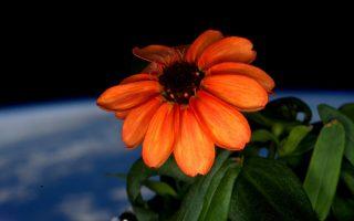 Η μικρή ζίνια που άνθισε στον Διεθνή Διαστημικό Σταθμό. Η φροντίδα του αστροναύτη Σκοτ Κέλι της επέτρεψε να επιβιώσει παρά τις αντίξοες συνθήκες.