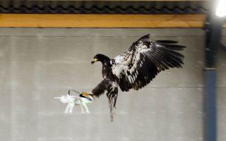 Μάχη στους αιθέρες. Είδε και αποείδε η αστυνομία της Ολλανδίας με τα drone κάθε είδους που κατακλύζουν τον ουρανό, δημιουργώντας εκτός από κομφούζιο και σοβαρό πρόβλημα ασφαλείας, και αποφάσισε να δράσει. Έτσι εκπαιδευμένοι αετοί (μέχρι τώρα αετοί χρησιμοποιούνται στην ασφάλεια των αεροδρομίων αλλά και σε  γήπεδα του τένις για να κρατούν τα μικρά πουλιά μακριά) ανέλαβαν δράση να καθαρίσουν τους μηχανοκίνητους μπελάδες. REUTERS/Nederlands Politie/Handout via Reuters