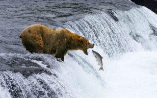 Καλώς τον!!! Τα εντυπωσιακά εθνικά πάρκα των ΗΠΑ  υμνεί η ταινία «National Parks Adventure» που θα προβληθεί στους κινηματογράφους της χώρας. Η φωτογραφία του άτυχου σολομού ανήκει στο υλικό της ταινίας και τραβήχτηκε στο Katmai εθνικό πάρκο της Αλάσκας. (Brad Ohlund/MacGillivray Freeman Films/VisittheUSA.com via AP)
