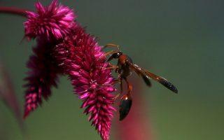 Μια σφήκα πάνω σε λουλούδι, στη Σριναγκάρ της Ινδίας. Μέλισσες και σφήκες κινδυνεύουν με εξαφάνιση.
