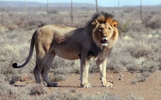 O Ghost πρέπει να πεθάνει. Για δεύτερη φορά το εικονιζόμενο λιοντάρι το έσκασε από το Karoo National Park στην Νότιο Αφρική. Την πρώτη φορά τον αναζητούσαν για τουλάχιστον τρεις εβδομάδες, αυτή την φορά τον αναζητούν μέσω δορυφόρου έχοντας φροντίσει το κολάρο του να έχει πομπό, όμως η απόφαση έχει ληφθεί. Το λιοντάρι αποτελεί πλέον πρόβλημα για το πάρκο και αφού έχει βρει τον τρόπο να το σκάει, θα το κάνει και στο μέλλον. Έτσι το λιοντάρι θα θανατωθεί για να αποφύγουν τυχόν επίθεσή του σε ανθρώπους. (Gabriella Venter/SANSParks via AP)