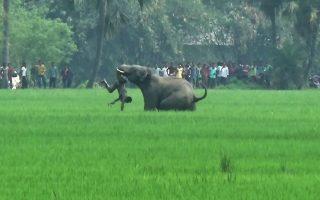Τίγρεις και ελέφαντες. Από μια αρμαθιά πράγματα κινδυνεύουν στα χωριά  οι Ινδοί. Δεν φτάνει που κάθε λίγο και λιγάκι μια τίγρη θα ψάχνει για φαγητό στην πόρτα τους, έχουν και τους ελέφαντες που αν εξαγριωθούν δεν βρίσκουν κανένα εμπόδιο στο διάβα τους. Έτσι το χωριό Baghasole της Δυτικής Βεγγάλης, μετρά πέντε  νεκρούς και έναν τραυματία σε κρίσιμη κατάσταση από φονική έφοδο τεσσάρων  ελεφάντων. AFP / -