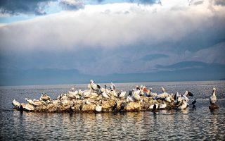 Πάνω από 300 είδη πουλιών έχουν καταγραφεί στη λίμνη Κερκίνη. ( Φωτογραφίες: Δημήτρης Βλάικος)