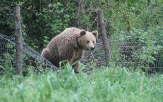 Οι καταστροφές από αρκούδες δεν έλειψαν κατά τη διάρκεια της προσπάθειας της οργάνωσης, ωστόσο πλέον με τα κατάλληλα μέτρα η παρουσία του ζώου δεν αποτελεί απειλή για τον άνθρωπο.