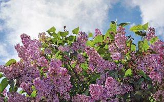 Η πασχαλιά, γνωστή και ως το λουλούδι της άνοιξης. (Φωτογραφία: Shutterstock)