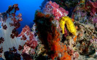 Ο μικρός κίτρινος ιππόκαμπος είναι ένας από τους μόνιμους κατοίκους των κοραλλιογενών υφάλων της θάλασσας Ανταμαν.