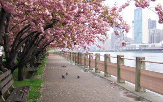 Ανθισμένες κερασιές με θέα το Μανχάταν.