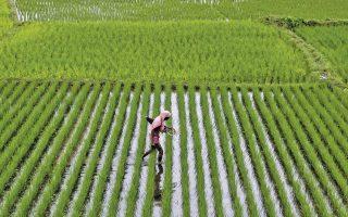 Ινδός αγρότης εγκαταλείπει ορυζώνα, στα περίχωρα της πόλης Μπουμπανεσουάρ. Η Ινδία αναμένεται να ωφεληθεί από την καλλιέργεια ανθεκτικώς γενετικά τροποποιημένων ποικιλιών ρυζιού.