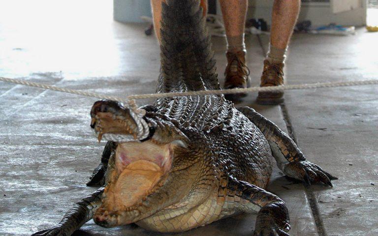 krokodeilos-katasparaxe-kolymvitria-2136173