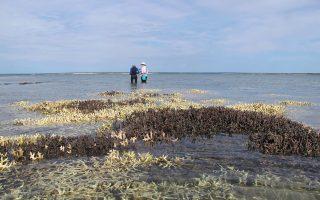 Πληθαίνουν εντυπωσιακά τα νεκρά κοράλλια στη Δυτική Αυστραλία, εξαιτίας του συνδυασμού της κλιματικής αλλαγής και του φαινομένου Ελ Νίνιο, που προκαλεί η λεύκανση. Ειδικότερα σε κάποια τμήματα του Μεγάλου Κοραλλιογενούς Υφάλου ο θάνατος των κοραλλιών έχει προσεγγίσει το 35%, με ανυπολόγιστες συνέπειες για το οικοσύστημα και φυσικά για τα είδη που αναζητούν εκεί καταφύγιο και τροφή.