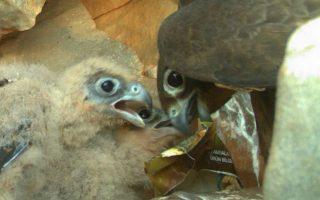 Γεράκι ταΐζει πλαστικό τους νεοσσούς του στη βραχονησίδα Ανυδρο της Πάτμου.