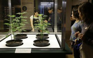 Μια έκθεση για την μαριχουάνα. Νεαρά δενδρύλλια από την καλλιέργεια Dark Heart Nursery  τοποθετήθηκαν για να βλέπουν οι επισκέπτες το φυτό. Η έκθεση στο μουσείο Οakland της Καλιφόρνια έχει τίτλο «Altered State: Marijuana in California» με αφορμή την ψηφοφορία για την νομιμοποίηση της χρήσης της και αποτελείται από πολιτικά ντοκουμέντα, επιστημονικά δεδομένα αλλά και έργα τέχνης, και σκοπό έχει να δώσει στους επισκέπτες το έναυσμα για μια μεγαλύτερη συζήτηση αλλά και κατανόηση, για  την χρήσης της μαριχουάνας. (AP Photo/Ben Margot)