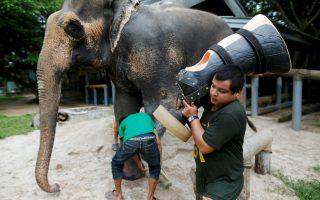 Προσθετικά πόδια. Δεν έχουν ανάγκη μόνο οι άνθρωποι από προσθετικά άκρα έτσι ώστε να συνεχίσουν την ζωή τους με τον καλύτερο δυνατό τρόπο. Η ανάγκη αυτή στα ζώα είναι θέμα ζωής και θανάτου, καθώς αν δεν μπορούν να περπατήσουν, δεν μπορούν και να τραφούν. Έτσι το ίδρυμα Friends of the Asian Elephant που δραστηριοποιείται στην Ταϊλάνδη, αναλαμβάνει το κόστος για την δημιουργία τεχνητών ποδιών ελεφάντων οι οποίοι χάνουν τα άκρα τους συχνά από εκρήξεις ναρκών.  Στην φωτογραφία ο Motola που έχασε το πόδι του από νάρκη, ετοιμάζεται να δοκιμάσει το νέο άκρο που έφτιαξαν για εκείνον. REUTERS/Athit Perawongmetha