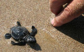 Οι εκσκαφές δίνουν την ευκαιρία στους εθελοντές να βοηθήσουν τυχόν αδύναμα χελωνάκια που έχουν παγιδευθεί μέσα στη φωλιά τους.