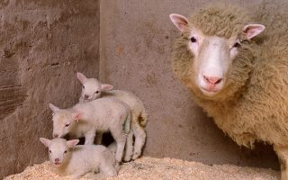 Η Ντόλι το πρόβατο, το πρώτο κλωνοποιημένο θηλαστικό, εμφάνισε ίχνη πρόωρης γήρανσης. Οι «απόγονοί» της δεν φαίνεται να παρουσιάζουν προβλήματα.