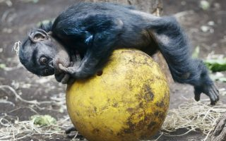 Πιλάτες. Μάλλον χαλαρώνει παρά γυμνάζεται ο μικρός χιμπαντζής της φωτογραφίας. Η λήψη έγινε στον ζωολογικό κήπο της Φρανκφούρτης. AP Photo/Michael Probst