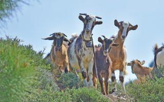 Καθημερινές  είναι οι αντιδικίες, στο Ειρηνοδικείο Ικαρίας, ιδιοκτητών κατσικιών - αγροτών, των οποίων οι καλλιέργειες πλήττονται από τις επιδρομές των ζώων.
