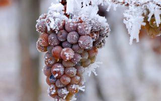 Οταν οι τσουχτερές θερμοκρασίες έχουν καταψύξει τα πάντα, ξεκινάει  ο τρύγος για το περίφημο Icewine.