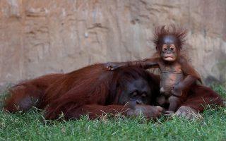 Τι μεγάλος που είναι ο κόσμος! Αν και δεν αποχωρίζεται την αγκαλιά της μητέρας της Sulli και ούτε φεύγει μακριά από το βλέμμα του πατέρα της, η μόλις πέντε μηνών μικρή (ανήκει στην οικογένεια των ουρακοτάγκων του Βόρνεο) έχει περιέργεια να δει τον κόσμο. Έτσι σηκώνεται δειλά δειλά, να περιεργαστεί το κλουβί της στον ζωολογικό κήπο   Bioparc Fuengirola κοντά στην Μάλαγα.  REUTERS/Jon Nazca