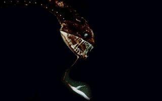 Ευτυχώς δεν θα το δεις! Μόλις επέστρεψε η  National Oceanic & Atmospheric Administration όπου είχε σκοπό να ανακαλύψει τους μηχανισμούς και την βιοποικιλότητα των πλούσιων σε πλάσματα, τεράστιων βαθών κοντά στην Χαβάη. Ένα από «καλούδια» που επέστρεψε στο εργαστήριο είναι και το δρακόψαρο της φωτογραφίας. (NOAA via AP)