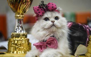 Οι χαϊδεμένες. Ανάμεσα στα χρυσά και αργυρά μετάλλια ποζάρει η γάτα της φωτογραφίας. Στην Κωνσταντινούπολη βρέθηκαν δεκάδες υπέροχες εκπρόσωποι φυλών για να διαγωνιστούν στην διάρκεια της  World Cat Federation που διεξάγεται στην πόλη. AFP / OZAN KOSE