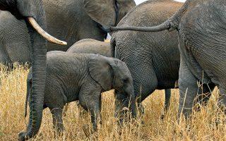 Κοπάδι ελεφάντων στο Εθνικό Πάρκο Tarangire. (Φωτογραφία: Getty Images/ Ideal Image.gr)