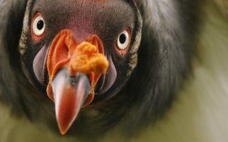 Βασιλικό γεράκι κοιτάζει με περιέργεια τον φωτογραφικό φακό στον ζωολογικό κήπο του Βερολίνου. Στην άγρια φύση, βασιλικά γεράκια ζουν στην Κεντρική και τη Νότια Αμερική.