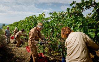 Η βιοδυναμική αμπελουργία κερδίζει όλο και περισσότερους οπαδούς μεταξύ των Ιταλών οινοπαραγωγών.