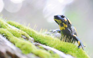 Σαλαμάνδρα  (S. Salamandra) στα βρύα κορμού δέντρου (φωτο H. Tζώρας).