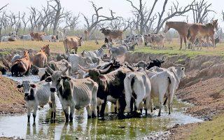 Σε σχεδόν αποξηραμένη λίμνη υφάλμυρου ύδατος προσπαθούν να ξεδιψάσουν οι αγελάδες στο Μποκερόν.